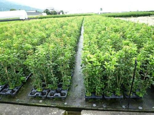 キンモクセイ樹高0.8m前後15cmポット秋に花を咲かせ優しい香りが特徴生垣用苗木植木苗庭木
