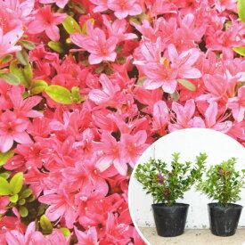 クルメツツジ(赤) 樹高0.3m前後 13.5cmポット 久留米ツツジ つつじ 苗木 植木 苗 庭木 生け垣 花を楽しむ木 春に花を咲かせる植木特集(お得なセット販売もございます)
