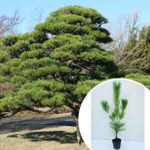 クロマツ 樹高0.3m前後 10.5cmポット 黒松 くろまつ 松の木 苗木 植木 苗 庭木 生け垣 シンボルツリー 常緑樹(お得なセット販売もございます)