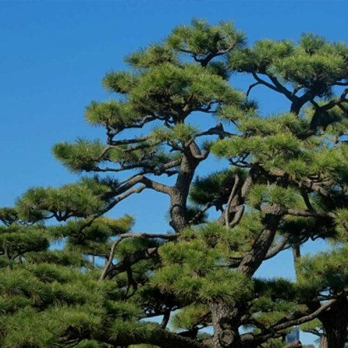 【送料無料】【20本セット】クロマツ樹高0.5m前後10.5cmポット苗木植木苗庭木