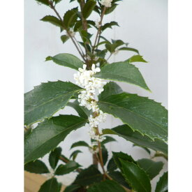 ヒイラギモクセイ 樹高0.3m前後 10.5cmポット 苗木 植木 苗 庭木 生け垣 シンボルツリー 常緑樹(お得なセット販売もございます)