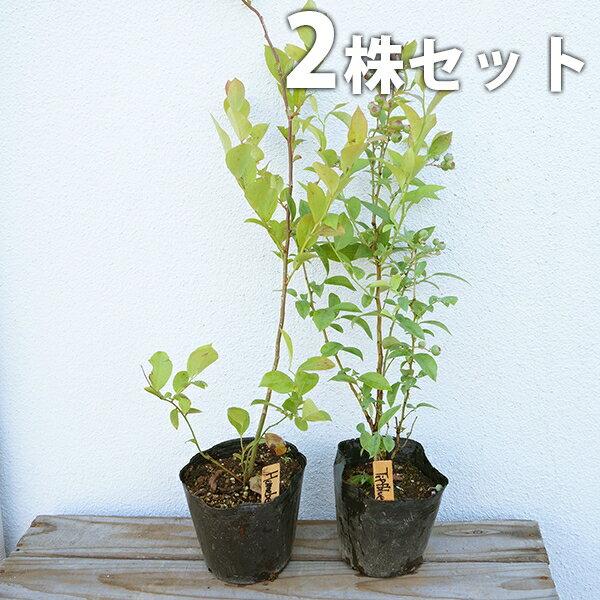 【送料無料】ブルーベリー 2品種セット 樹高0.4m前後 13.5cmポット (ティフブルーとホームベルのセット) ラビットアイ 苗木 植木 苗 庭木 果樹(お得なセット販売もございます)