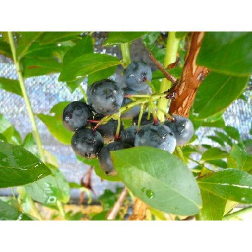 【送料無料】【2本セット】ブルーベリー2品種セット樹高0.4m前後13.5cmポット(ティフブルーとホームベルのセット)ラビットアイ苗木植木苗庭木02P10Jan15