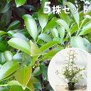 ■送料無料■【5本セット】 サカキ 樹高0.4m前後 13.5cmポット (さかき ホンサカキ 榊 本榊) 常緑樹 苗木 植木 苗 …