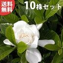 ■送料無料■【10本セット】 ヤエクチナシ 樹高0.4m前後 15cmポット 白花 八重咲きクチナシ ガーデニア (八重) クチ…