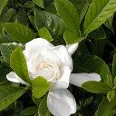 ヤエクチナシ 樹高0.4m前後 15cmポット 白花 八重咲きクチナシ ガーデニア (八重) クチナシ生垣 苗木 植木 苗 庭木 …