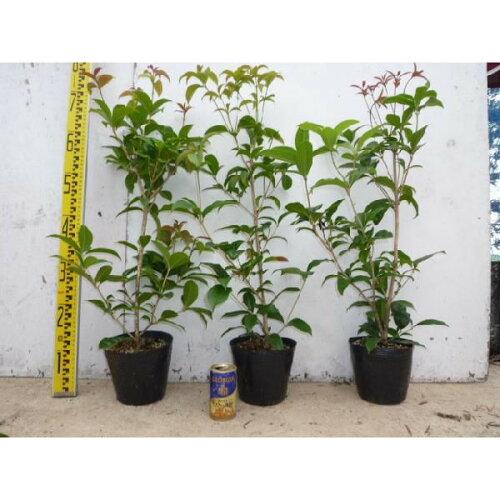 シキザキモクセイ樹高0.8m前後15cmポット四季咲モクセイ年に何度か花が咲き優しい香りが特徴苗木植木苗庭木(お得なセット販売もございます)