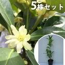 【5本セット】 シキミ 樹高0.25m前後 10.5cmポット しきみ 樒 櫁 苗木 植木 苗 庭木 生け垣 花を楽しむ木 春に花を咲…