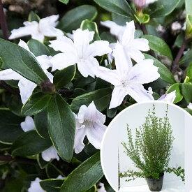 ハクチョウゲ 樹高0.3m前後 15cmポット (白丁花) 苗木 植木 苗 庭木 生け垣 花を楽しむ木 初夏に花を咲かせる植木特集(お得なセット販売もございます)