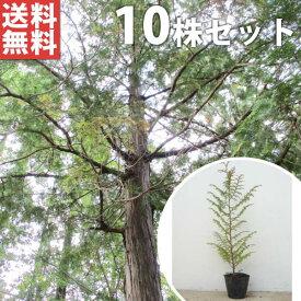 ■送料無料■【10本セット】 ヒノキ 樹高0.4m前後 10.5cmポット ひのき 苗木 植木 苗 庭木 生け垣 シンボルツリー 常緑樹