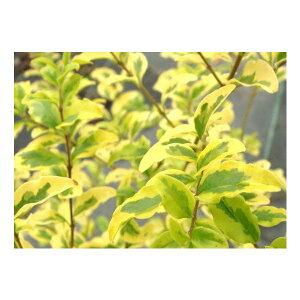 プリペット・レモンアンドライム 樹高0.3m前後 15cmポット 苗木 植木 苗 庭木 生け垣 目隠し・生垣(お得なセット販売もございます)