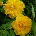ヤエヤマブキ 樹高0.5m前後 15cmポット 八重山吹 八重ヤマブキ やまぶき 苗木 植木 苗 庭木 生け垣 花を楽しむ木 春に…