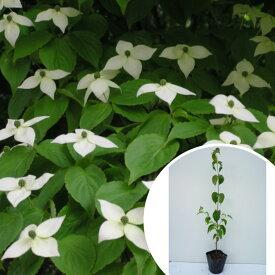 ヤマボウシ 樹高0.4m前後 10.5cmポット やまぼうし 苗木 植木 苗 庭木 生け垣 花を楽しむ木 春に花を咲かせる植木特集(お得なセット販売もございます)
