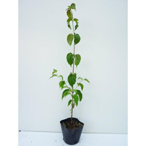 ヤマボウシ樹高0.5m前後10.5cmポット苗木植木苗庭木(お得なセット販売もございます)