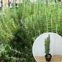 ローズマリー 樹高0.3m前後 15cmポット 立性 ろーずまりー 苗木 植木 苗 庭木 生け垣 ハーブ(お得なセット販売もござ…