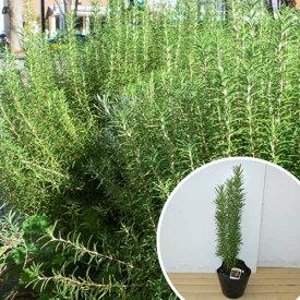 ローズマリー 樹高0.3m前後 15cmポット 立性 ろーずまりー 苗木 植木 苗 庭木 生け垣 ハーブ(お得なセット販売もございます)