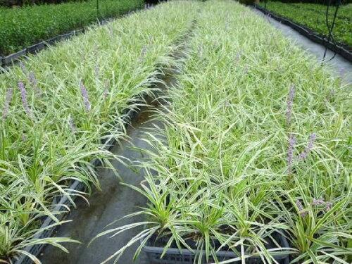斑入りヤブラン10.5cmポットヤブランフイリヤブラン苗木植木苗庭木(お得なセット販売もございます)