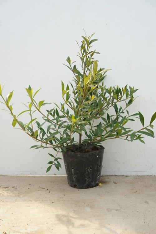 ヒメクチナシ25cm(樹高20cmx葉張り30cm)13.5cmポットひめくちなし(コクチナシ)苗木植木苗庭木(お得なセット販売もございます)
