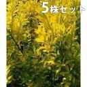■送料無料■【5本セット】 オウゴンマサキ 樹高0.4m前後 15cmポット おうごんまさき (黄金マサキ) 生垣用 苗木 植…