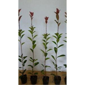 【10本セット】レッドロビン樹高0.8m前後10.5cmポット生垣用苗木植木苗庭木