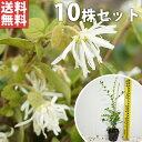 【送料無料】【10本セット】 トキワマンサク(青葉白花) 樹高0.3m前後 10.5cmポット 常盤満作 ときわまんさく 生垣用…