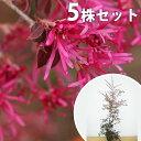 ■送料無料■【5本セット】 トキワマンサク(赤葉赤花) 樹高1.0m前後 18cmポット 常盤満作 ときわまんさく 生垣用 苗…