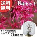 ■送料無料■【8本セット】 トキワマンサク(赤葉赤花) 樹高1.0m前後 18cmポット 常盤満作 ときわまんさく 生垣用 苗…