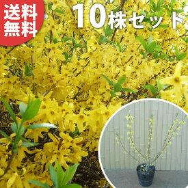 ■送料無料■【10本セット】 レンギョウ 樹高0.5m前後 15cmポット れんぎょう 苗木 植木 苗 庭木 生け垣 花を楽しむ木 春に花を咲かせる植木特集