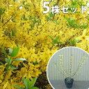 【5本セット】 レンギョウ 樹高0.5m前後 15cmポット れんぎょう 苗木 植木 苗 庭木 生け垣 花を楽しむ木 春に花を咲か…