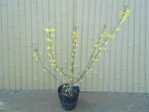 【送料無料】【10本セット】レンギョウ樹高0.5m前後15cmポット苗木植木苗庭木花を楽しむ木春に花を咲かせる植木特集