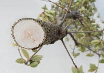 ザクト太枝切鋏ANG-650グリーン太枝切り鋏剪定はさみハサミ園芸