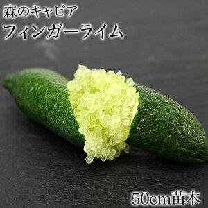 フィンガーライム グリーン 苗木 苗 果樹 果樹苗 柑橘 ギフト 1年生 接木