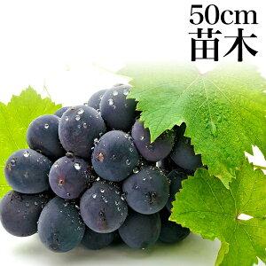 【ポイント5倍】ぶどう 巨峰 1年生 苗木 苗 果樹 果樹苗 ブドウ 葡萄  ギフト