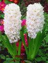 ヒヤシンス 球根 水栽培用 カーネギー 1球 白