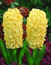 ヒヤシンス 球根 水栽培用 シティオブハーレム 1球 黄