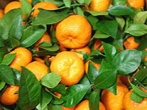 葉みかん【お正月用】葉付きみかん(熊本産) 5kg箱ご予約限定品お届けは12月25日前後からになります。