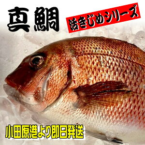 たい タイ 真鯛 魚 お取り寄せ・活き締め 真鯛 の 柵 刺身用・生食用【小田原港より即日発送/うまいもの市場・活〆シリーズ】鮮度重視、旨味が違います【冷蔵便】
