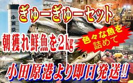 小田原 朝獲れ ぎゅうぎゅうセット 2kg 【その日に水揚げされた鮮魚の詰合せ】早朝、競り落とした魚を詰め込んで即日配送いたします【冷蔵便】