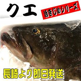 クエ 本 くえ ( 活じめ ・ 養殖 )約3.5kg前後 刺身用 【 高級魚・産地直送 】 高級料理店、高級居酒屋・こだわりの店などでお使いいただいております 【冷蔵便】