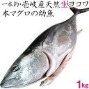 【H】壱岐産 1本釣り 天然 ヨコワ【1キロ】鮮魚 メジマグロ 本マグロ クロマグロ ホンヨコ 本メジ まぐろ 鮪 マグロ …