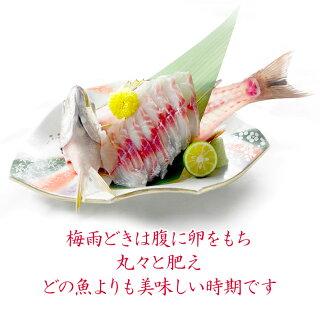 刺身がおいしい天然イサキ