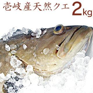 【K】【送料無料】壱岐産天然クエ【2Kg】【RCP】九州では「アラ」、関西では「クエ」、東日本では「モロコ」と呼ばれる高級魚【送料込】