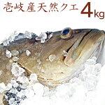 【K】【送料無料】壱岐産天然クエ【4Kg】【RCP】九州では「アラ」、関西では「クエ」、東日本では「モロコ」と呼ばれる高級魚【送料込】