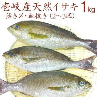 【K】【1本釣り】壱岐産天然いさき1匹(約600〜700g)