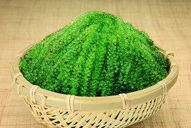 大粒【A級品】海ぶどう たっぷり500g沖縄料理 沖縄食材 刺し身 美味しい 海藻 お土産 おススメ商品