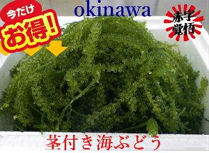 生産者直送【茎付き】海ぶどう たっぷり500g