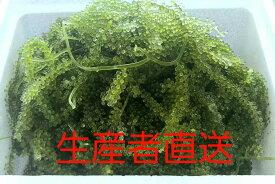 生産者直送【茎付き】海ぶどう たっぷり500g 沖縄料理 沖縄食材 刺し身 美味しい 海藻 お土産 おススメ商品