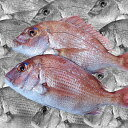 【産地直送】活〆。瀬戸内の天然真鯛 鮮魚 約1kg(2尾)30cm前後