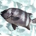 【産地直送】活〆。瀬戸内の天然石鯛 鮮魚 イシダイ 約2kg(1尾)50cm前後