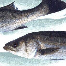 【産地直送】活〆。瀬戸内の天然鱸 スズキ 鮮魚 約2kg(1尾)55cm前後
